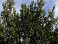 Poirier à feuilles d'amandier ou Poirier faux - amandier. Pyrus amygdaliformis, espèce à limbe non lobé. 1.