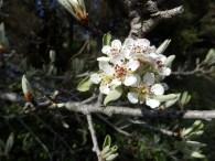 Pyrus amygdaliformis ou Perotièr ( Oc ) en avril.