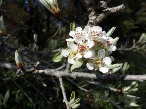 Pyrus amygdaliformis ou Perotièr ( Oc ) en avril, floraison forme à limbe lobé.