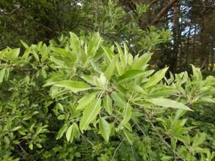 Poirier à feuilles d'amandier. Perotièr ( Oc ), autre feuillage.