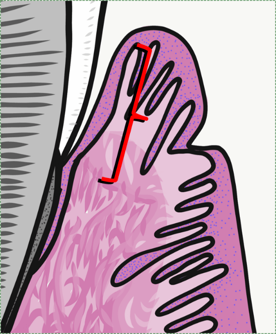 sulcular epithelium