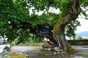 O Carballo de Santa Margarida, en Pontevedra, será recuperado / pontevedraviva.com