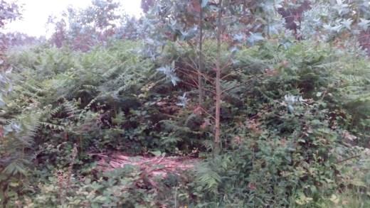Os eucaliptos danan a mámoa 1 de Espadanido, no campo de mámoas das Campaniñas, en Ferrol