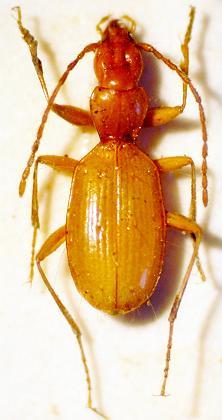 Escarabajo Hitler