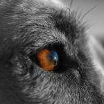 El Alano Español, el perro de guerra de los Conquistadores