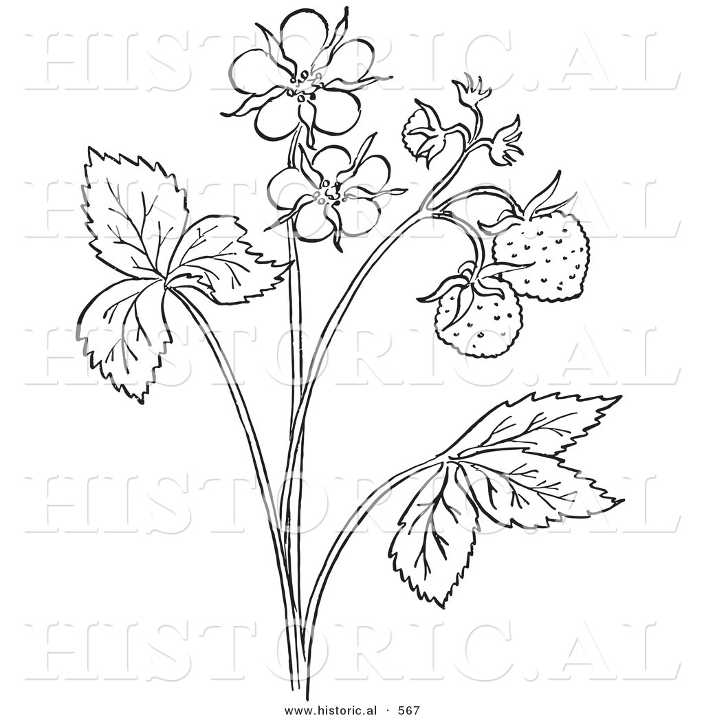 Historical Vector Illustration Of A Strawberry Plant With