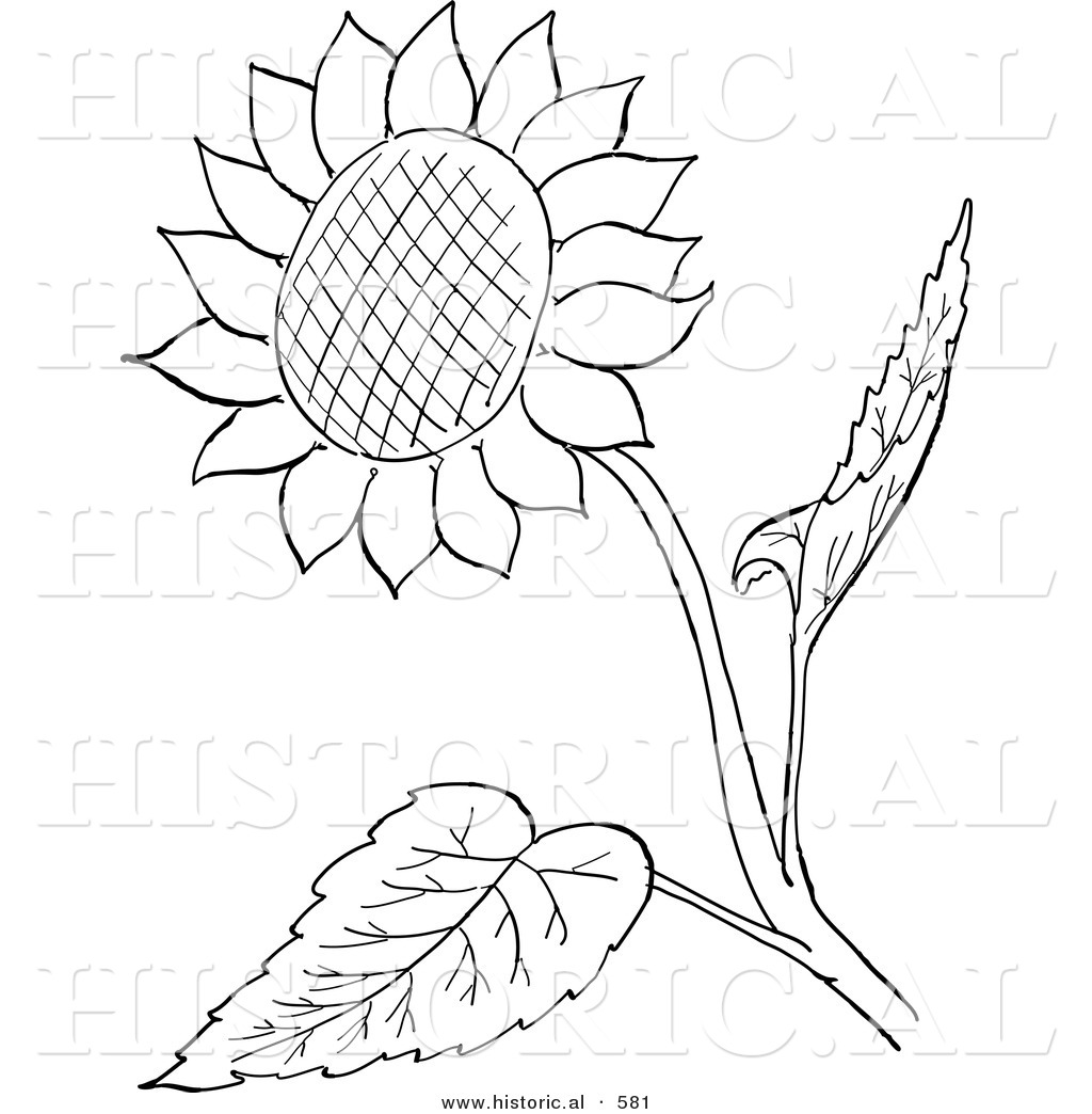 sunflowers coloring pages this sunflower stock