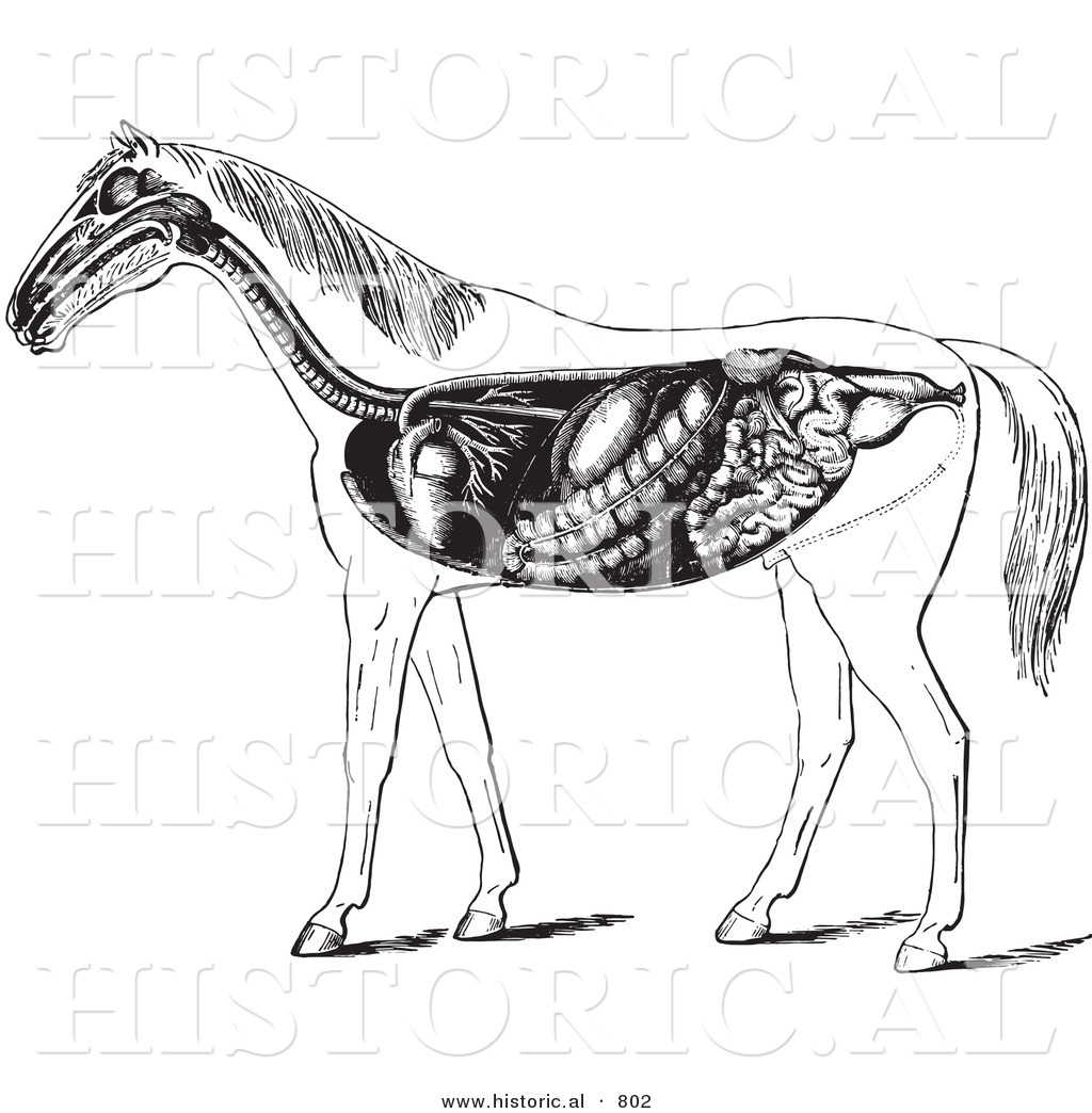 Horse Digestive System Anatomy