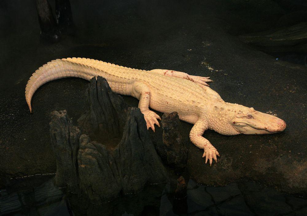 白化的鱷魚