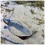 275-SEA-TURTLE-NESTING
