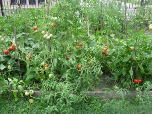 Tomatoes growing in our gardens