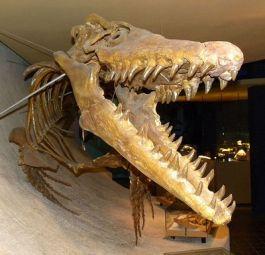 Reconstructie van een skelet van een Mosasaurus Hoffmani in het Natuurhistorische Museum in Maastricht
