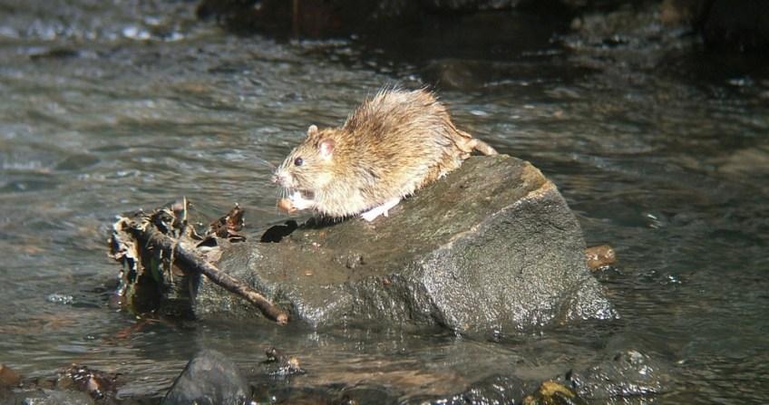 Rat - cc