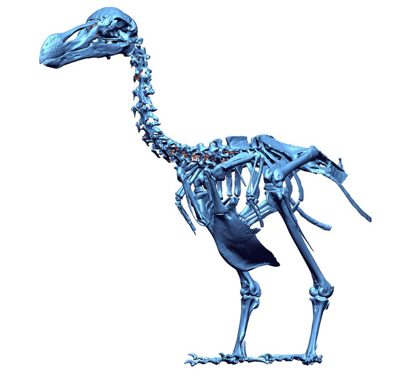 3D-scan van de dodo (Dodo Research Programme)