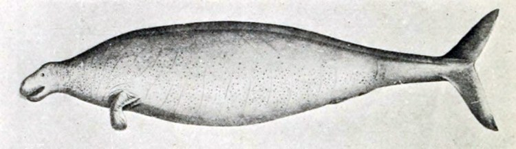 Tekening van een Stellerzeekoe door Georg Steller