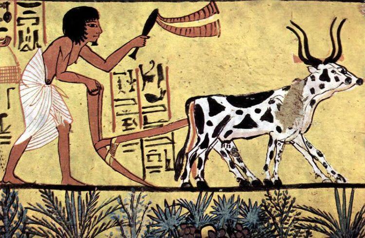Landbouwhuisdieren in het oude Egypte -  De oude Egyptenaren verbouwden emmer (een graan gelijkend op tarwe), fenegriek (een keukenkruid), gerst, gierst, dadels, wilde vijgen, druiven en vlas; men fokte vee verwant aan de Afrikaanse zeboe, ezels, varkens, geiten en schapen, viste in de Nijl en strikte watervogels.