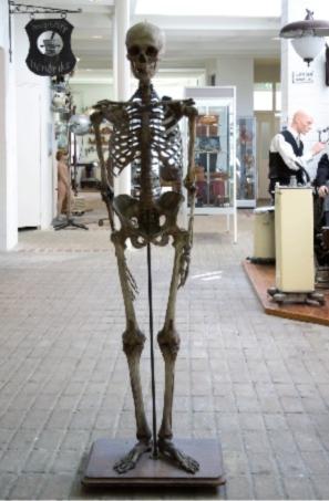 Het skelet van Piet Stams (museumdedorpsdokter.nl)