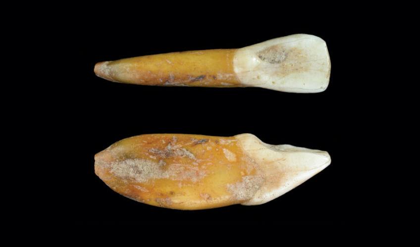 Tand van neanderthaler-kind ontdekt