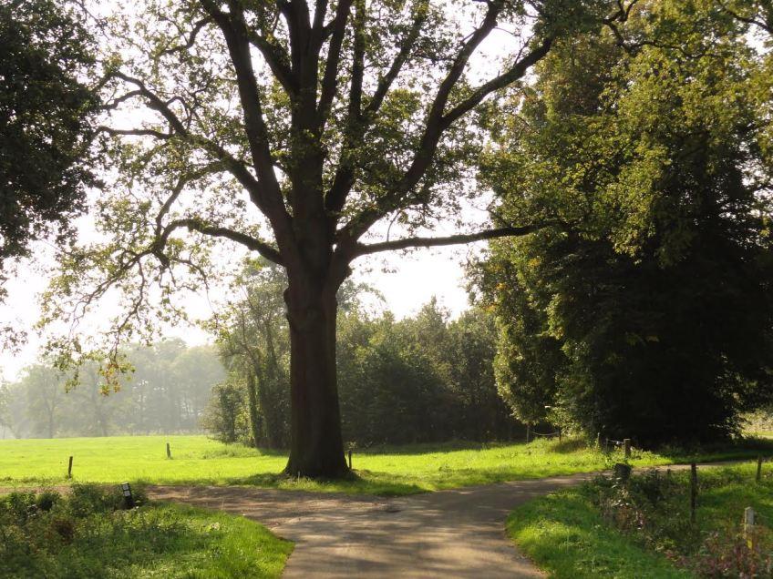 Markeringseik op het landgoed Twickel bij Azelo. Zulke bomen of boomgroepjes werden vroeger in het landschap gelegd zodat de reiziger wist waar hij zich bevond. (Foto: Peredour)