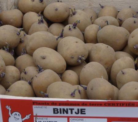 Bintjes - cc