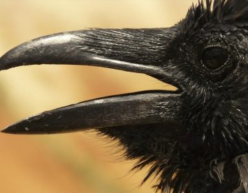 Empirisme - Een zwarte kraai (CC0 - Pixabay - LoggaWiggler)