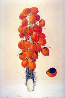 Gerrit Schouten; Botanical Study: Araccae (Palmae), Atrocayum vulgare; 1824; watercolor; 59.8 x 45.7 cm; Fine Arts Museums of San Francisco