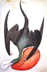 "Justin Gibbens Bird of Paradise IX- Truly Magnificent Frigatebird watercolor, graphite, gouache, oolong tea on paper 2008 40"" x 26"""