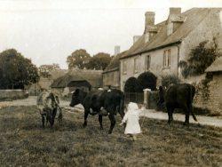 Cows to pasture 1916, Olive Dora Belcher