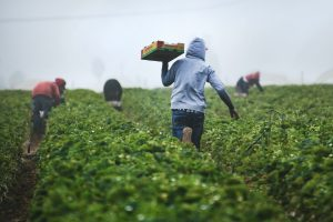 strawberry pickers at work
