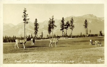 Deer on golf course - Jasper Park Lodge. Photographed and Copyrighted by Tom. H. Johnston, Jasper, Alberta, after 1948. peel.library.ualberta.ca/postcards/PC008104.html