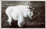 Mountain goat in Maligne River, Jasper National Park. Photographed by J.A. Weiss, after 1930. http://peel.library.ualberta.ca/postcards/PC008239.html