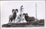 Mountain sheep, Jasper National Park. Photographed and Copyrighted by Tom. H. Johnston, circa 1940. http://peel.library.ualberta.ca/postcards/PC008243.html