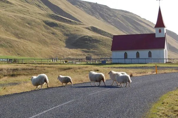 Waiting for sheep to cross the road in Iceland