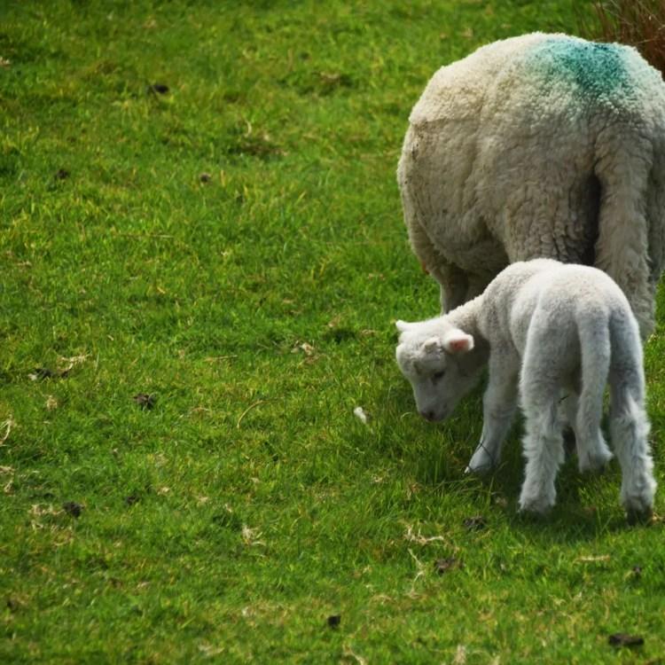 Ireland - Lamb