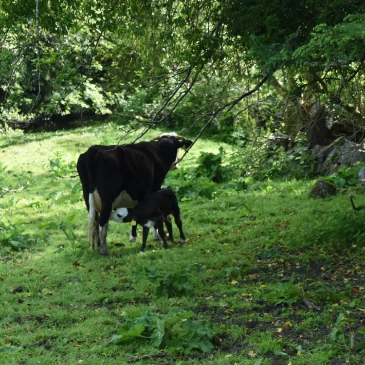 Mama and baby calf.