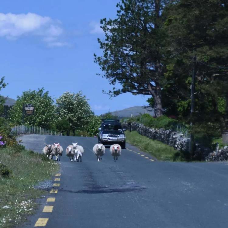 Running sheep.