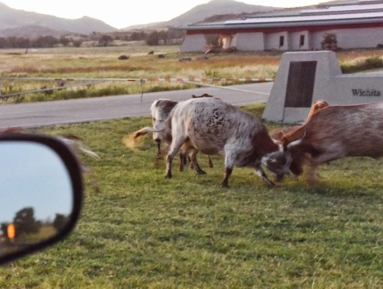 Two adult longhorn cattle fighting in front of our car at the Wichita Mountains Wildlife Refuge