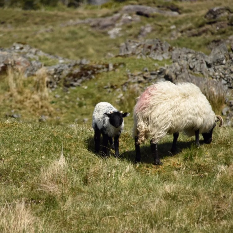 A lamb on the side of the highway in Connemara, Ireland