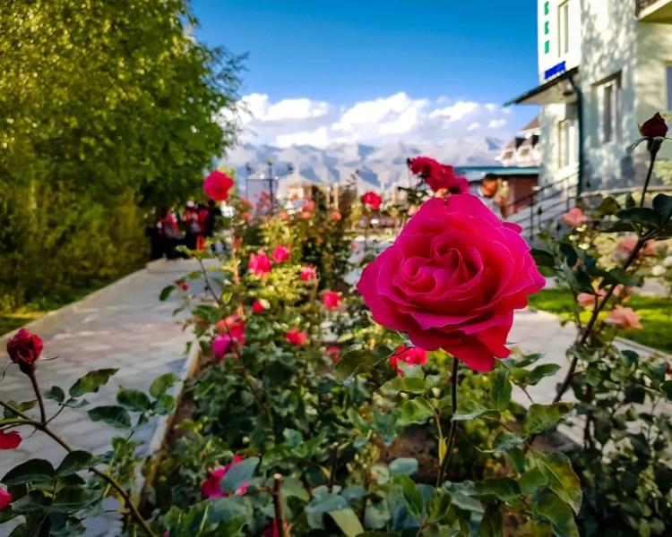 Roses in Bosteri
