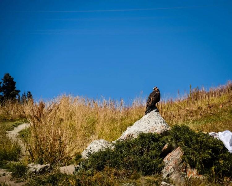 A Kazakh eagle perched on a rock.