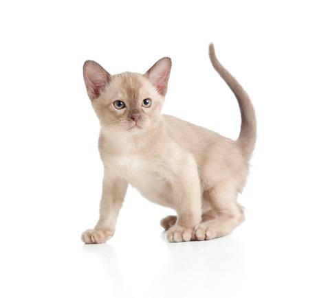 Burmese cat kitten on white