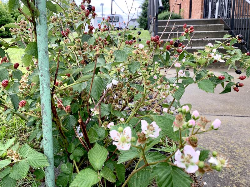 thornless blackberries butler