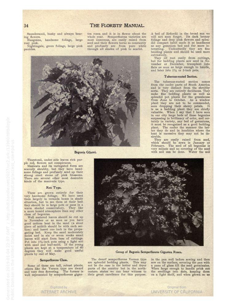 1906 Begonia