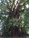 The 500-year old balete tree