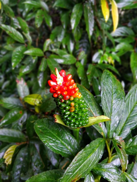 Taxus lily cobra in Mawphlang - best place to visit in northeast india