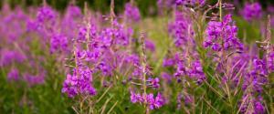 Rosebay Willow herb CREDIT Paul Lane compressed