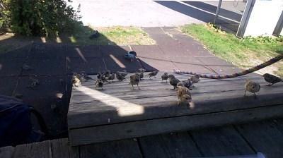 ptáci v Grazu