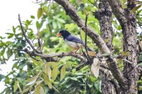 Red Billed Blue Magpie