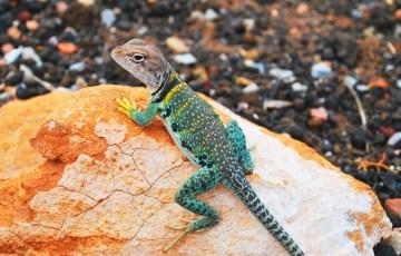 一人暮らしのペットは爬虫類1