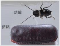 クロゴキブリ幼虫